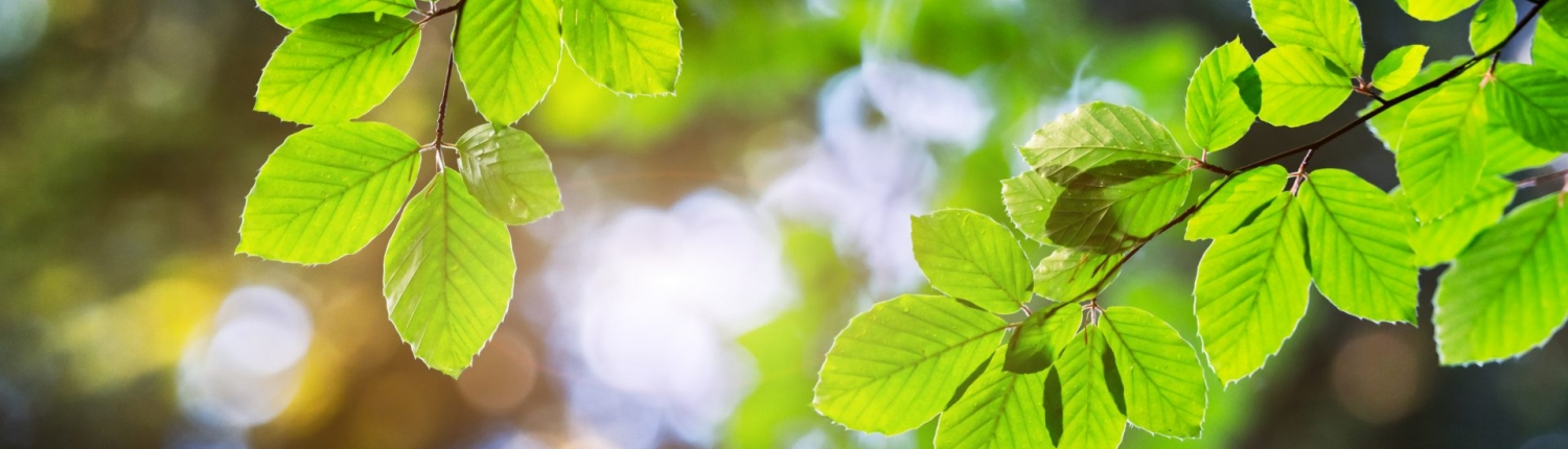 closeup-nature-view-of-green-beech-leaf-on-spring